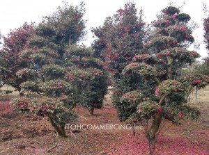 日本茶梅 進口 植木の輸出
