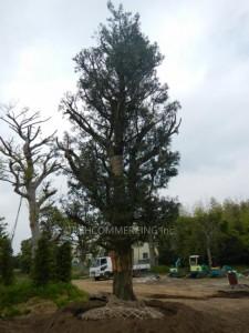 庭園樹 日本羅漢松